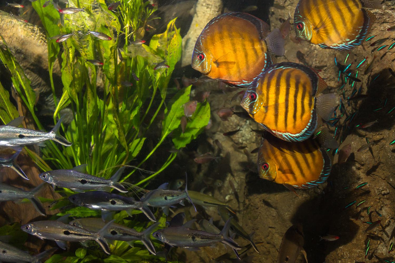 5.45 Discus Fish - Project Piaba Vinny DiDuca
