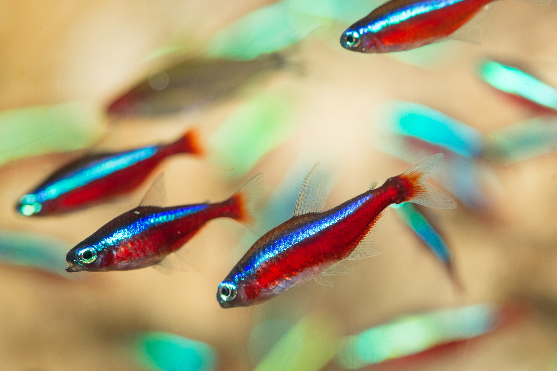 7.92 Cardinal Tetra Fish - Project Piaba Vinny DiDuca